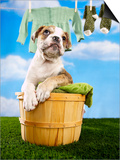 Bulldog Puppy in Laundry Basket Poster by Lew Robertson