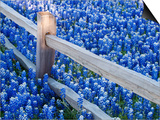 Bluebonnets Along Fenceline Poster by Terry Eggers