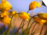 Close-up of daffodils Prints by Craig Tuttle