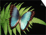 Kevin Schafer - Blue Common Morpho Butterfly on Fern Frond - Poster
