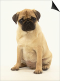 Pug Puppy Prints by Pat Doyle