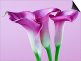 Purple Calla Lilies Posters by Clive Nichols