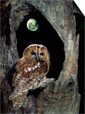 Tawny Owl Perched in Tree Below Nearly Full Moon Posters by George Mccarthy