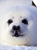 Week-old Harp Seal (Phoca Groenlandica) Pup (whitecoat), Gulf of the St. Lawrence River, Canada. Posters by Wayne Lynch