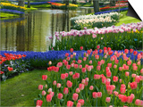 Spring Tulips by Stream Posters by Mark Bolton