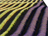 Partially Harvested Lavender Field in Provence Print by Frank Krahmer