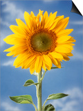 A Sunflower Against Blue Sky Posters by Ottmar Diez