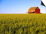Wheat Crop Growing in Field Before Barn Posters by Terry Eggers