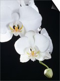 White Orchid Prints by John-Francis Bourke