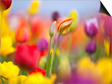 Close-up of tulips Prints by Craig Tuttle