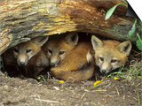 Red Fox Kits Huddled at Den Entrance Prints by Daniel Cox