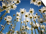 Sun and blue sky through daisies Print by Craig Tuttle