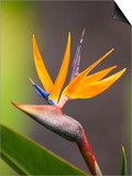 Bird-of-Paradise Flower on Maui Posters by Ron Dahlquist