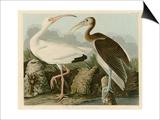 Ibis blanc Affiche par John James Audubon