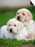 Yellow labrador retriever puppies Posters by Ron Dahlquist