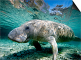 Florida Manatee Prints by Stephen Frink