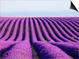 Lavender field in bloom Posters by Frank Lukasseck