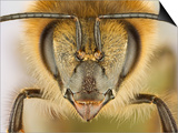 Close-up of honey bee Print by Charles Krebs