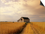 Old Barn in Maturing Spring Wheat Field, Tiger Hills, Manitoba, Canada. Prints by Dave Reede