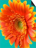 Orange Gerbera Daisy Plakater af Clive Nichols