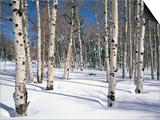 Quaking Aspens in Snow Prints by James Randklev