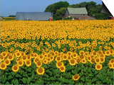 Sunflowers and Farm, Dugald, Manitoba, Canada. Posters by Mike Grandmaison
