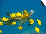 Green sea turtle with passengers Art by Tim Davis