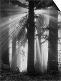 Sunshine in Redwood Forest Prints