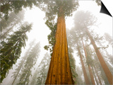 Giant Sequoia trees in snow and fog in Sequoia National Park Posters by John Eastcott & Yva Momatiuk