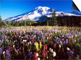 Wildflower Meadow and Mount Rainier Prints by Craig Tuttle