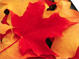 Red and Yellow Maple Leaves Prints by Robert Glusic