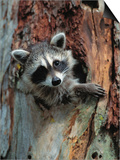 Raccoon Inside Hollow Log Poster von Jeff Vanuga