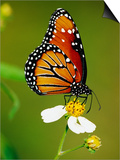 Monarch Butterfly on Flower Prints by Richard Cummins