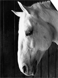 Portrait of a Lipizzaner Horse Posters by Karen Tweedy-Holmes