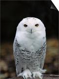 Snowy Owl Kunstdrucke von Jeff Vanuga
