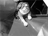 Dog Flying in Aircraft Prints by  Bettmann