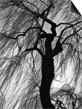 Weeping Willow, Oregon, 1975 Art by Brett Weston