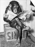 Chimpancé leyendo el periódico Pósters por  Bettmann