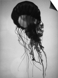 Jellyfish Art by Henry Horenstein