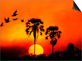 Ivory Palm and Pelicans at Sunset in Botswana Plakater