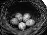 Bird Eggs in Nest Póster por Henry Horenstein