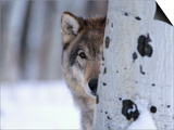 Jeff Vanuga - Gray Wolf Behind Aspen Plakát