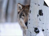 Gray Wolf Behind Aspen Poster von Jeff Vanuga
