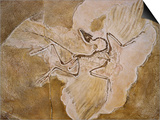 Archaeopteryx Lithographica Fossil Print by Naturfoto Honal