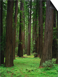 Redwood Forest Print by Kathleen Brown
