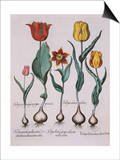 Tulipa, Engraving Print by Basilius Besler