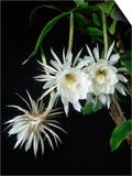 Epiphyllum oxypetalum Prints by Peter Smithers
