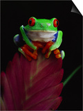 David Northcott - Red-Eyed Tree Frog Perched on Plant - Poster