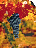 Cabernet Sauvignon Grapes Prints by Charles O'Rear