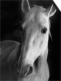 Portrait of Lippizaner Belvedere Napolitano Posters by Karen Tweedy-Holmes